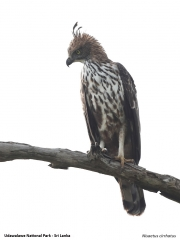 Nisaetus cirrhatus005.Udawalawe NP.Sri Lanka.28.11.2018