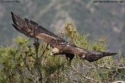 Aquila chrysaetos012.Buseu.Spain.PJ.2.06.2018
