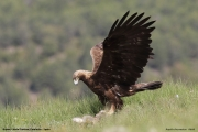 Aquila chrysaetos020.Buseu.Spain.PJ.2.06.2018