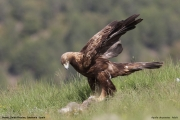 Aquila chrysaetos021.Buseu.Spain.PJ.2.06.2018