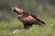 Aquila chrysaetos028.Buseu.Spain.PJ.2.06.2018