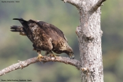 Aquila chrysaetos045.Buseu.Spain.PJ.2.06.2018