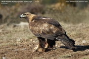 075.087.Aquila chrysaetos002.Female.Buseu.Spain.PJ.23.02.2018
