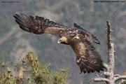 Aquila chrysaetos009.Buseu.Spain.PJ.2.06.2018