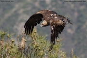 Aquila chrysaetos010.Buseu.Spain.PJ.2.06.2018