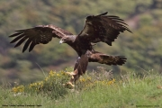 Aquila chrysaetos016.Buseu.Spain.PJ.2.06.2018