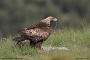 Aquila chrysaetos034.Buseu.Spain.PJ.2.06.2018