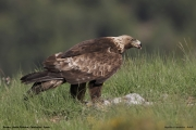 Aquila chrysaetos035.Buseu.Spain.PJ.2.06.2018