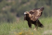 Aquila chrysaetos037.Buseu.Spain.PJ.2.06.2018