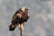 Aquila chrysaetos052.Buseu.Spain.PJ.2.06.2018