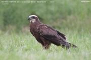 075.Circus_aeruginosus02.Female.Poland.25.06.2011