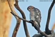075.125.Accipiter badius badius001.Male.Udawalawe NP.Sri Lanka.29.11.2018