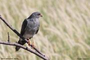 Accipiter_ovampensis002.Etosha_N.P.Namibia.22.02.2014