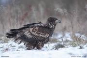 Haliaeetus_albicilla005.Juv.Poland.29.12.2009