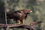 Milvus_aegyptius009.Kombolcha.Etiopia.28.11.2009