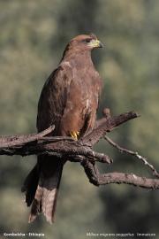 Milvus_aegyptius013.Kombolcha.Etiopia.28.11.2009
