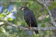075.199.Buteogallus_anthracinus_subtilis001.Tarcoles.Costa_Rica.29.11.2015