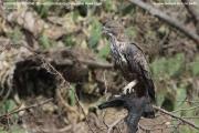 075.070.Nisaetus cirrhatus001.Bundala NP.Sri Lanka.3.12.2018