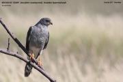 075.153.Accipiter_ovampensis001.Etosha_N.P.Namibia.22.02.2014