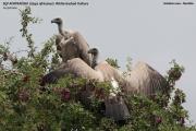 075.49.Gyps_africanus01.Near_Gobabis.Namibia.2.03.2014