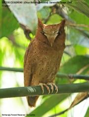 077.080.Otus_thilohoffmanni001.Sinharaja_Forest_Reserve.Sri_Lanka.27.11.2018