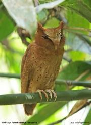 Otus_thilohoffmanni002.Sinharaja_Forest_Reserve.Sri_Lanka.27.11.2018