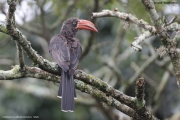 Lophoceros_alboterminatus005.St.Lucia.RPA.26.02.2017