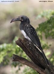Lophoceros_hemprichii004.Langano.Etiopia.22.11.2009