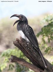 Lophoceros_hemprichii005.Langano.Etiopia.22.11.2009