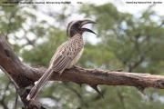 081.015.Lophoceros_nasutus001.Waterberg.Namibia.19.02.2014