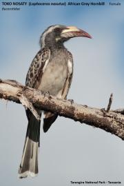 081.015.Lophoceros_nasutus002.Tarangire_N.P.Tanzania.24.03.2013
