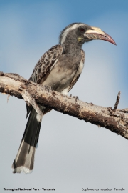 Lophoceros_nasutus003.Tarangire_N.P.Tanzania.24.03.2013