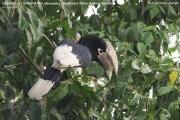 081.024.Bycanistes_albotibialis001.Budongo_Forest.Uganda.PJ.14.02.2011
