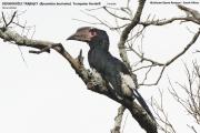 081.026.Bycanistes_bucinator001.Female.Hluhluwe_Game_Reserve.RPA.24.02.2017
