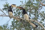 Anthracoceros_coronatus002.Yala_NP.Sri_Lanka.1.12.2018