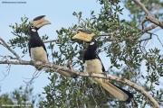 Anthracoceros_coronatus003.Yala_NP.Sri_Lanka.1.12.2018