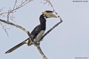 Anthracoceros_coronatus005.Yala_NP.Sri_Lanka.1.12.2018