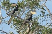 Anthracoceros_coronatus006.Yala_NP.Sri_Lanka.1.12.2018