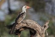 Tockus_erythrorhynchus002.Buffalo_Springs_N.R.Kenia.30.11.2014