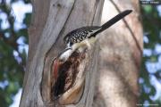 Tockus_erythrorhynchus005.Droga_Negele_Yabelo.Etiopia.18.11.2009