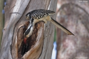 Tockus_erythrorhynchus008.Droga_Negele_Yabelo.Etiopia.18.11.2009