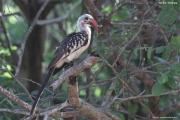 Tockus_erythrorhynchus010.Droga_Negele_Yabelo.Etiopia.18.11.2009