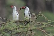Tockus_erythrorhynchus014.Lake_Natron.Tanzania.27.03.2013