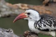 Tockus_erythrorhynchus017.Mpala_R.C.Kenia.4.12.2014