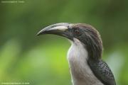 Ocyceros_gingalensis003.Female.Sinharaja_Forest_Reserve.Sri_Lanka.27.11.2018