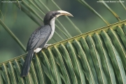 Ocyceros_gingalensis004.Male.Sinharaja_Forest_Reserve.Sri_Lanka.27.11.2018