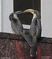 Ocyceros_gingalensis011.Kitulgala.Sri_Lanka.7.12.2018