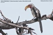 081.007.Tockus_leucomelas001.Mahango.Namibia.25.02.2014