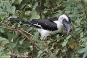 Tockus_deckeni010.Lake_Manyara_N.P.Tanzania.18.03.2013