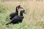 081.001.Bucorvus_abyssinicus001.Kidepo_Valley_N.P.Uganda.13.11.2012